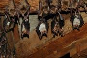 Gruselig oder putzig? Fledermauskolonie in einem Dachstock. (Bild: www.fledermausschutz.ch)