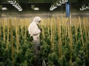 In Kanada soll der Konsum von Cannabis bald völlig legal sein - damit löst der kanadische Premierminister Justin Trudeau eines seiner Wahlkampfversprechen ein. (Bild: KEYSTONE/CHRISTIAN BEUTLER)