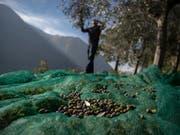 Kantonschemiker haben die Qualität von Olivenöl «extra vergine» in der Schweiz überprüft. Dabei hat sich ein Generalverdacht für Fälschungen nicht bestätigt. (Bild: KEYSTONE/TI-PRESS/PABLO GIANINAZZI)