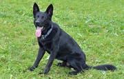 Er schnappte den flüchtenden Autofahrer ohne Führerausweis: Diensthund Dodge. (Bild: Luzerner Polizei)