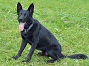 Trägt den Namen eines Autos: Diensthund Dodge stoppt einen flüchtigen Autofahrer im Luzerner Hinterland. (Bild: Luzerner Polizei)