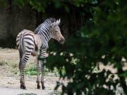 In ihren ersten zwei Wochen kräftig gewachsen: die Zebra-Stute Panja im Basler Zoo. (Bild: Keystone/Zoo Basel (Torben Weber))