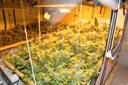 Entdeckt wurde das Drogenhanf bei einer Hausdurchsuchung in Beromünster. (Bild: Luzerner Polizei)