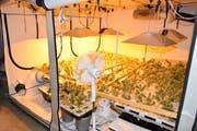 «Hochprofessionelle Anlage»: In sieben verschiedenen Zelten hat die Polizei über 730 Hanfpflanzen sichergestellt. (Bild: Luzerner Polizei)