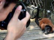 Keine Angst vor Besuchern zeigt dieser Rote Vari im Masoala Regenwald im Zoo Zürich. (Bild: KEYSTONE/WALTER BIERI)