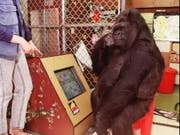 Koko auf einer Aufnahme von 1995 vor einem Computer in der Gorilla Foundation in Woodside, Kalifornien. (Bild: Keystone/AP NY / THE GORILLA FOUNDATION/RONALD COHN)