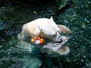 Bei einer Temperatur von 30 Grad ist Eisbär Tongki im Zoo von Seoul froh um eine Abkühlung. (Bild: KEYSTONE/AP/AHN YOUNG-JOON)