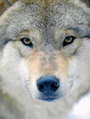 Der Ausdruck «einsamer Wolf» kommt nicht von ungefähr: Er hat gerne seine Ruhe. (Bild: Walter Bier/Keystone)