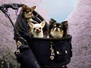 Mehrere Chihuahuas in einem Kinderwagen - im britischen Birmingham soll ein Paar über 80 Chihuahuas in seinem Privathaus angesammelt haben. (Bild: Keystone/EPA/FRANCK ROBICHON)