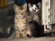 Verwilderte Katzen töten in Australien laut einer Studie jedes Jahr 650 Millionen Reptilien. (Bild: KEYSTONE/EPA/DAVID CHANG)