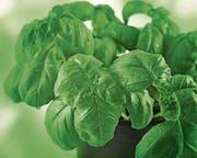 Wer seine Basilikumpflanzen regelmässig beerntet, regt sie zu weiterem Blattwuchs an. Wichtig ist, ganze Triebe abzuschneiden. (Bild: Fotolia)
