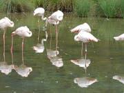 In diesem Teich im Berner Tierpark Dählhölzli stehen die Flamingos normalerweise. (Bild: KEYSTONE/EDI ENGELER)