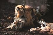 Eines der Tigerbabys im Walter Zoo musste einschläfert werden. (Bild: PD)