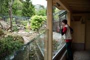 Die Wildkatzenanlage zählt zu den Attraktionen des Natur- und Tierparks Goldau. Ob die Erneuerung der Eulen-Voliere auch Besucher anzieht, wird sich noch zeigen. (Bild: Manuela Jans (Goldau, 6. Mai 2014))