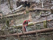 Im Kanton Bern sind die Sturmschäden fast bewältigt: Ein Forstarbeiter beim Aufräumen. (Bild: KEYSTONE/URS FLUEELER)