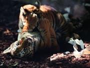 Die zwei gesunden jungen Tiger beim Spielen im Walter-Zoo in Gossau SG (Bild: Walter-Zoo Gossau)