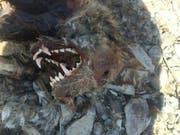 Der stark verweste Kadaver des Wolfes M63 wurde im März 2016 am Ufer der Rhone westlich von Raron VS gefunden. (Bild: Staat Wallis)