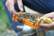 Mehrere Bienenvölker im Urner Talboden leiden aktuell unter bakteriellen Erkrankungen. (Bild: Florian Arnold (Spiringen, 2013))
