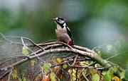 Ein Buntspecht macht Pause auf einer Birke (Bild: Keystone)