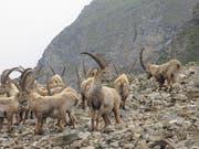 Auch Steinbockkolonien dürften auf der Exkursion zu sehen sein. (Bild: PD)
