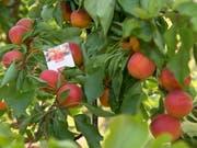 Dank viel Sonne und warmen Temperaturen dürften Walliser Aprikosen in diesem Jahr besonders gut schmecken. (Bild: KEYSTONE/ANTHONY ANEX)