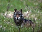 Der Wolf: Berggebiets-Politiker wollen seinen Schutzstatus europaweit senken (Themenbild). (Bild: KEYSTONE/MARCO SCHMIDT)