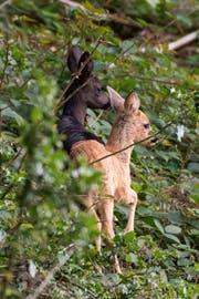 Das schwarze Rehkitz mit einem hellen Artgenossen. (Bild: Thomas Egger)