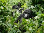Berggorillas im Virunga-Nationalpark: Die Parks sind wegen ihrer einzigartigen Ökosysteme Unesco-Welterbestätten. (Bild: KEYSTONE/AP/Jerome Delay)