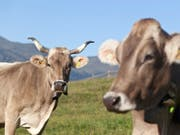 Eine Kuh mit Hörnern und eine hornlose Kuh weiden oberhalb Pany im Prättigau. (Bild: Keystone/ARNO BALZARINI)