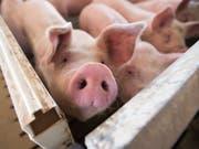 Schweine auf einer grossen Farm im US-Bundesstaat Iowa. Mexiko hat als Reaktion auf die US-Strafzölle auf Stahl und Aluminium Einfuhrzölle von 20 Prozent auf Schweinefleisch aus den USA verhängt. (Bild: Keystone/EPA/CRAIG LASSIG)