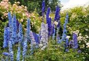 Ritterliches für die Königin: Die blaue Delphine, bekannt als Rittersporn, steht gern neben der Königin der Blumen: der Rose.