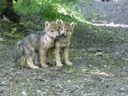 Bald ist auch ihr Heulen am Zürichberg zu hören: Zwei der vier Wolfsjungen, die im Mai zur Welt kamen. (Bild: Zoo Zürich)