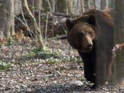 Ein Braunbär hat seine Pfoten möglicherweise auch auf Luzerner Boden gesetzt. (Bild: KEYSTONE/PETER SCHNEIDER)