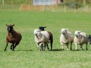 In der Region nahe Konstanz sind in der Nacht mehrere Schafe aus einem Gehege ausgebüxt und auf ein Bahngeleis gelaufen. (Bild: KEYSTONE/TI-PRESS/SAMUEL GOLAY)