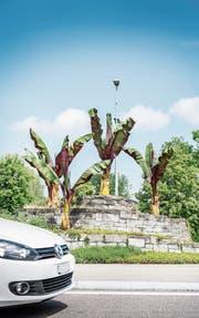 Fünf Bananenstauden wachsen im Kreisel an der Zeughausbrücke. (Bild: Andrea Stalder)