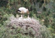 Der Weissstorch beim Füttern seiner Jungen. (Bild: pd/Tierpark Goldau)