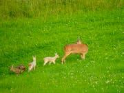 Wo genau die Tiere beobachtet wurden, wird nicht preis gegeben - zu ihrem Schutz. (Bild: ZVG)