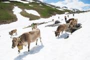 Das Sennten der Famillie Marty passiert die Schneefelder nach der Klausenpasshöhe. (Bild: Christof Hirtler, Klausenpass, 5. Juni 2018)