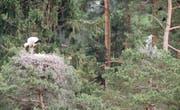 Weissstorch und Graureiher in direkter Nachbarschaft. (Bild: pd/Tierpark Goldau)