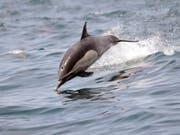 Delfine sind sehr soziale Tiere. Trotzdem behalten die männlichen Tümmler lebenslang ihre charakteristischen Pfeiflaute quasi als Namen bei. (Bild: KEYSTONE/AP/NICK UT)