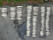 Die aus dem verschmutzten Gewässer geborgenen toten Fische (Bild: Kantonspolizei Freiburg)
