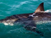 Haie sollte man besser nicht füttern. (Bild: KEYSTONE/AP/SCHALK VAN ZUYDAM)