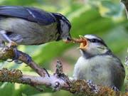 Eine Blaumeise füttert ihren Jungvogel mit einer Käferlarve. Alle Vögel weltweit fressen jährlich bis zu 500 Tonnen Insekten, wie Basler Zoologen schätzen. (Bild: Universität Basel/Maurice Baker)