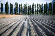 Ein trockenes Chicoree-Feld in Jenins GR wird künstlich bewässert. (Bild: Gian Ehrenzeller/Keystone (10. Juli 2018))