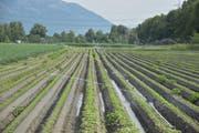 Bei Jungpflanzen wie hier im Ochsensand zwischen Buchs und Haag ist in der aktuellen Trockenheit eine grossflächige Bewässerung nötig. Der Kanton erteilt die für den Wasserbezug nötigen Bewilligungen. (Bild: Thomas Schwizer)