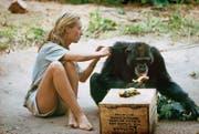 Jane Goodall um 1960 im Gombe-Nationalpark (Tanzania) mit dem Schimpansen, dem sie den Namen David Greybeard gab. (Bild: Mindjazz)