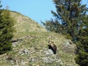 Bär M29 am 26. Mai 2017 im Eriz. Das Foto sorgte für Furore, weil es der erste Nachweis eines wilden Bären im Kanton Bern seit 190 Jahren war. Vermutlich war er am Wochenende auch im Sanetschgebiet (VS) unterwegs (Bild: Keystone/JAGDINSPEKTORAT DES KANTONS BERN/)