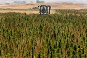 Bislang werden Hanfplantagen vom libanesischen Staat bekämpft und wie hier in der Beekaebene zunichte gemacht. (AP Photo/Hussein Malla/AP; 20. August 2009)