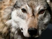 Der Wolf in der Bündner Herrschaft litt an einer Hirnentzündung. Es handelt sich um den ersten Befund dieser Art in der Schweiz (Bild: KEYSTONE/WALTER BIERI)