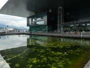 Trüben das Gesamtbild: Algen im KKL-Teich. (Leserbild: Walter Buholzer, Luzern)